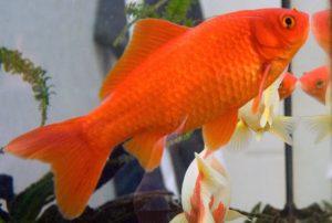 قدرة تذكر السمكة الذهبية